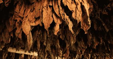 susenie tabakove listy zavesene