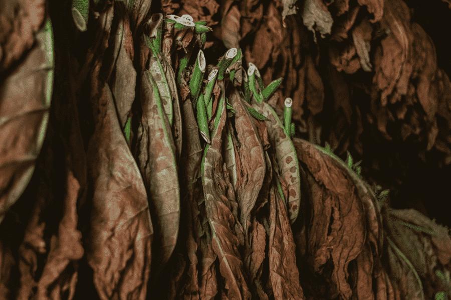 zavesene tabakove listy v procese susenia