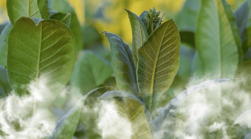 rastliny tabaku zahalene dymom