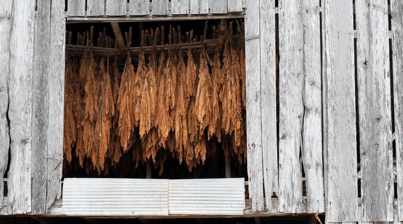 stofola v ktorej sa suší tabak zavesený na lanách
