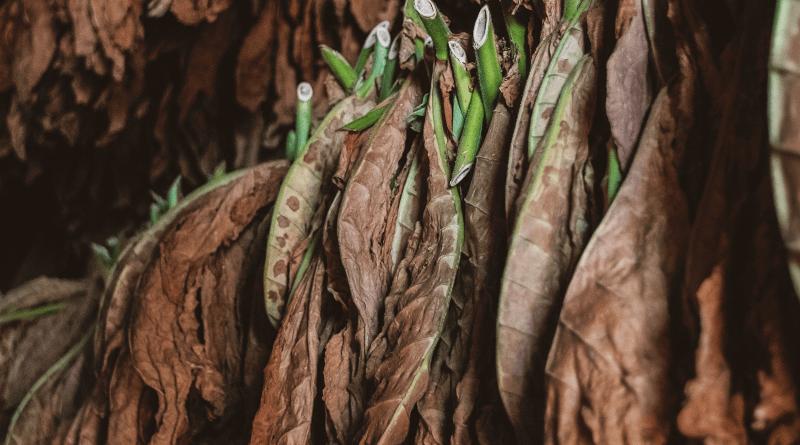 sušenie tabakových listov zavesených na špagátoxh