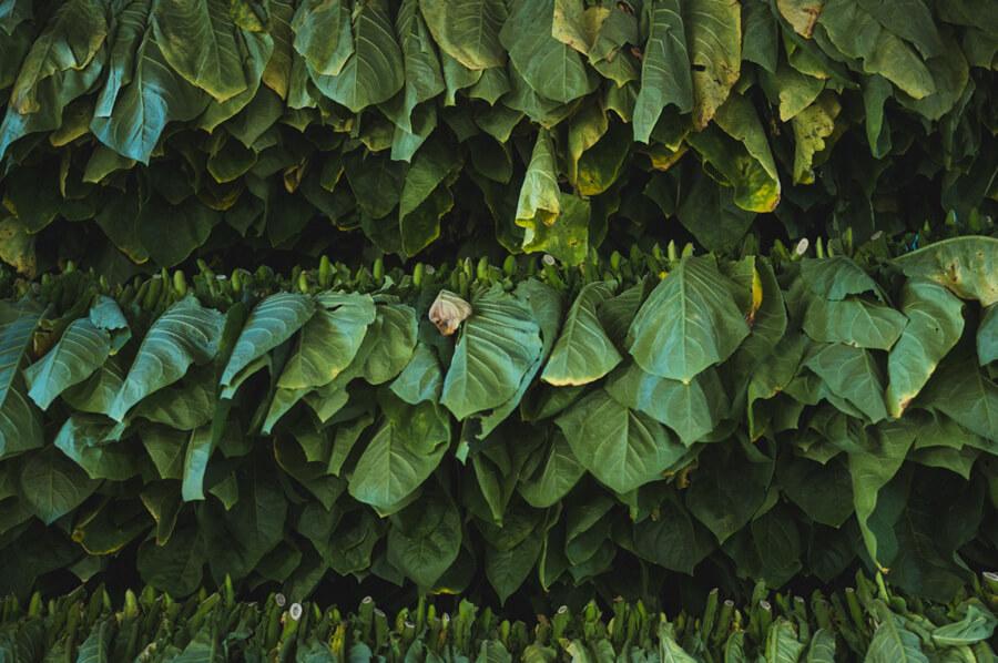 Sušenie tabaku: tabakové listy rozvešané za účelom ich usušenia
