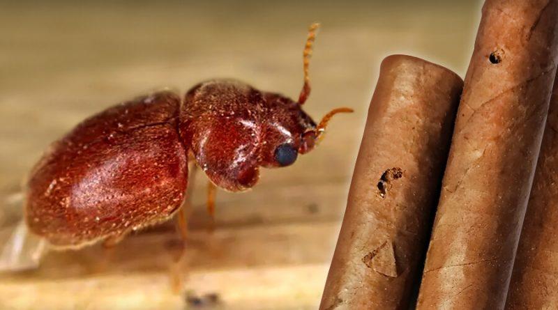 Tabakový chrobák a cigary prederavené larvami